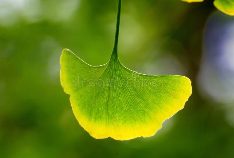 Ginkgo leaf. A beautiful yellow edge with a ginkgo leaf stock photo