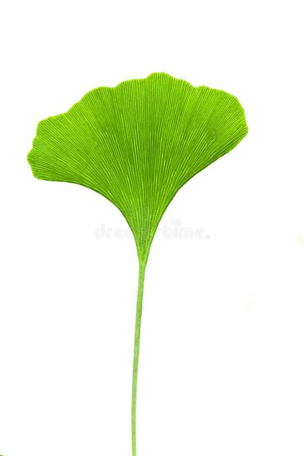 Ginkgo leaf. Ginkgo biloba leaf isolated on white background royalty free stock images