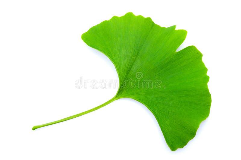 Ginkgo leaf. Ginkgo biloba leaf isolated on white stock photo