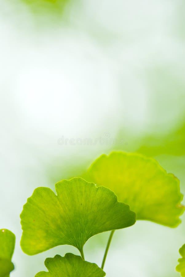 Ginkgo leaf. Blurred background transparent light royalty free stock photo