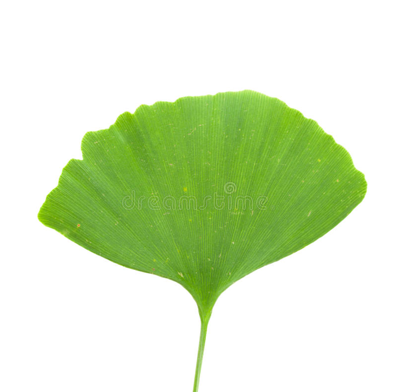 Ginkgo leaf. All on white background stock photos