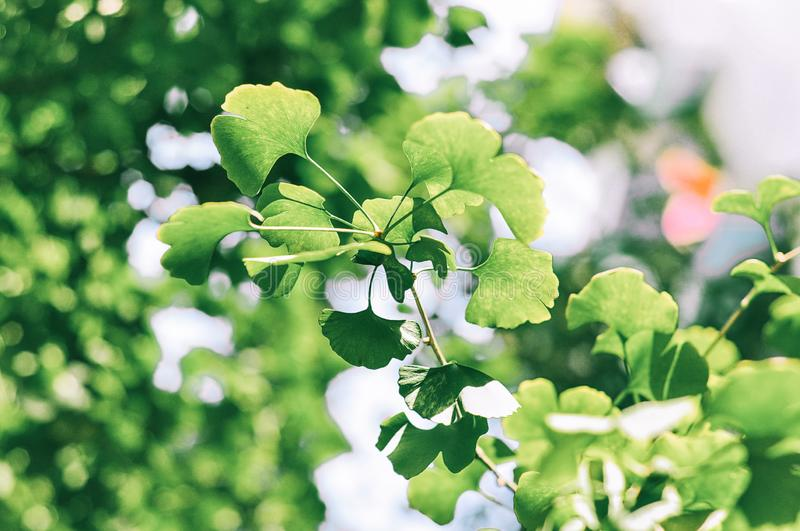 Ginkgo leaf in summer royalty free stock photography
