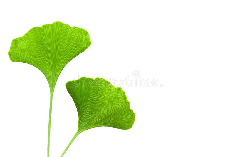 Ginkgo leaves. Ginkgo biloba leaves isolated on white background royalty free stock photo