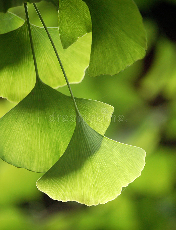 Ginkgo leaves. Close up of green ginkgo leaves in summer stock photo