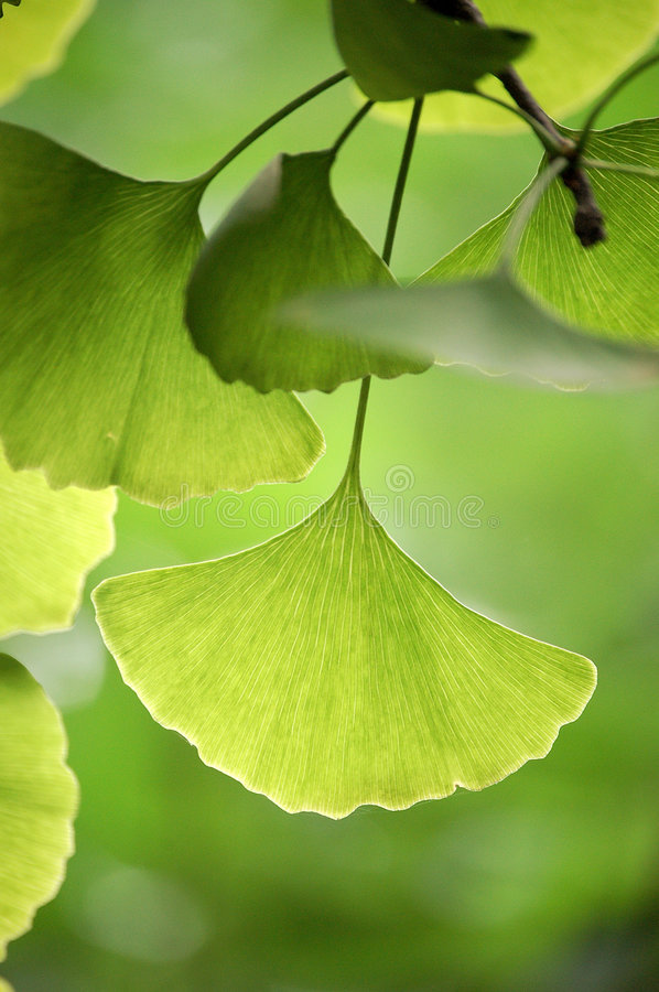 Ginkgo leaves. Close up of green ginkgo leaves in summer stock photos