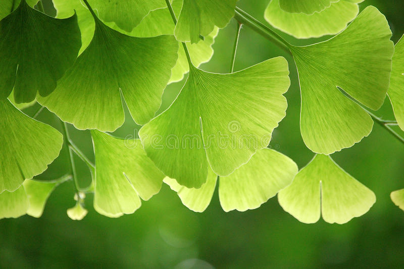 Ginkgo leaves. Close up of green ginkgo leaves in summer stock images