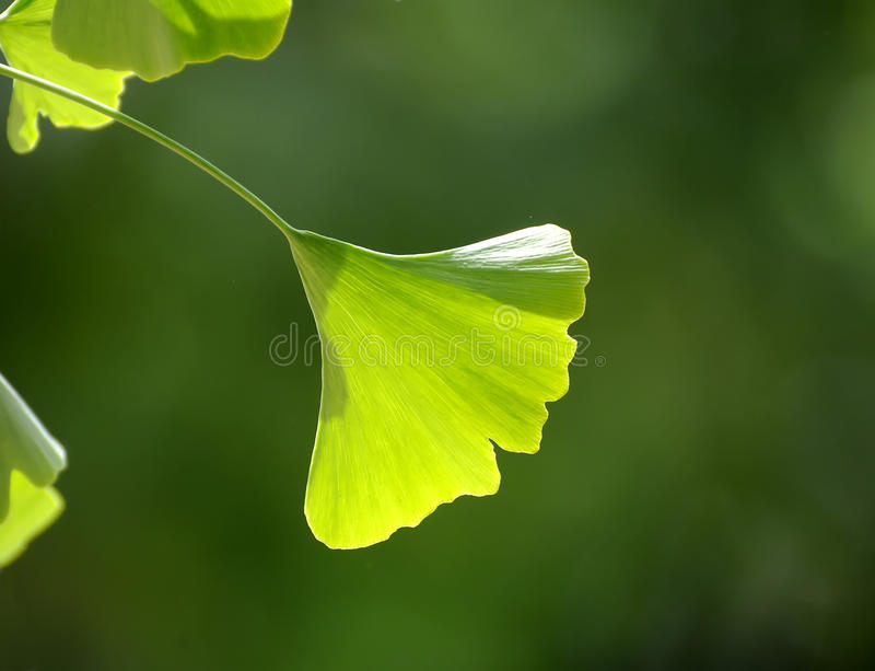 Ginkgo leaves. Backlight exposure permeability of Ginkgo biloba leaves are very beautiful royalty free stock photos