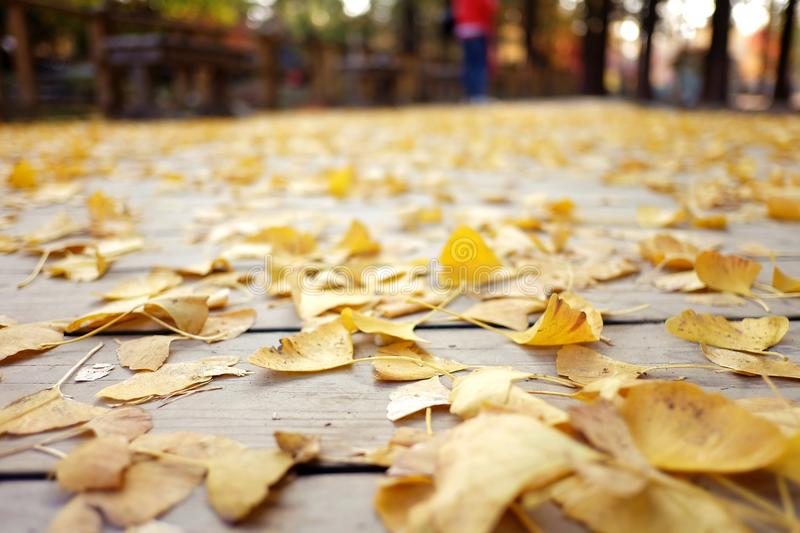 Ginkgo leaves carpet royalty free stock photography