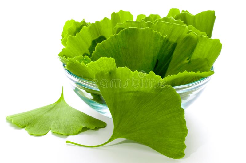 Ginkgo leaves or ginko. Ginkgo biloba leaves in a glass bowl. Green leaves on a white background stock photo