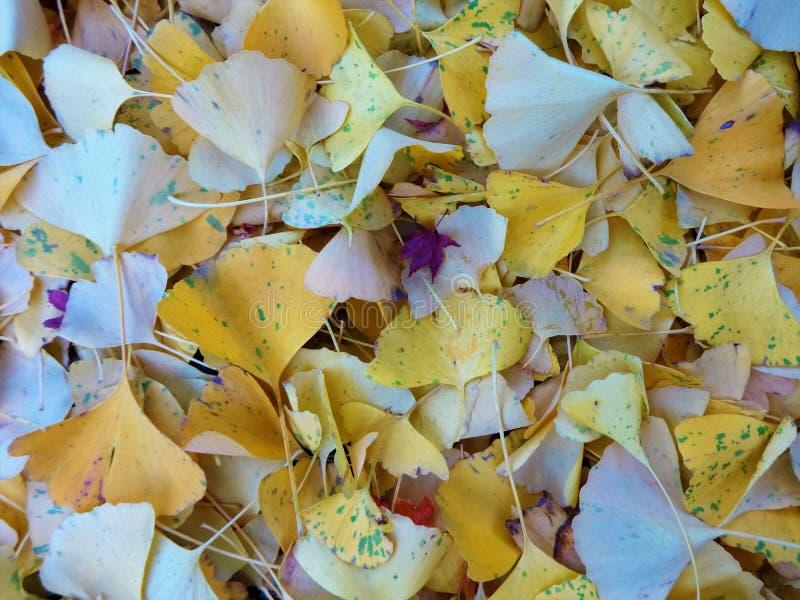 Ginkgo liście zakrywali ziemię obraz royalty free