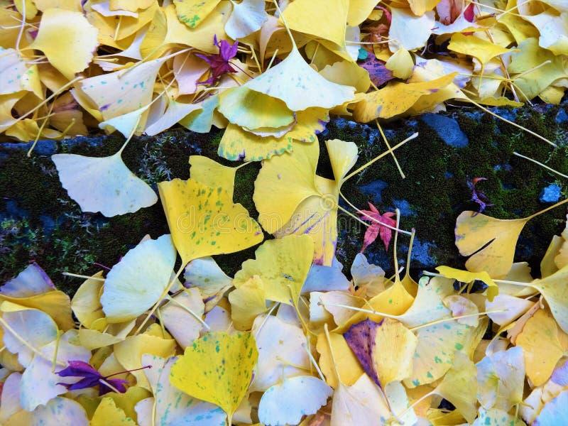 Ginkgo liście zakrywali ziemię fotografia royalty free
