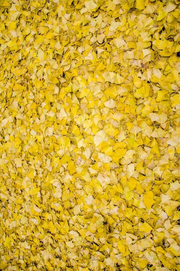 ginkgo opuszczać kolor żółty obrazy royalty free