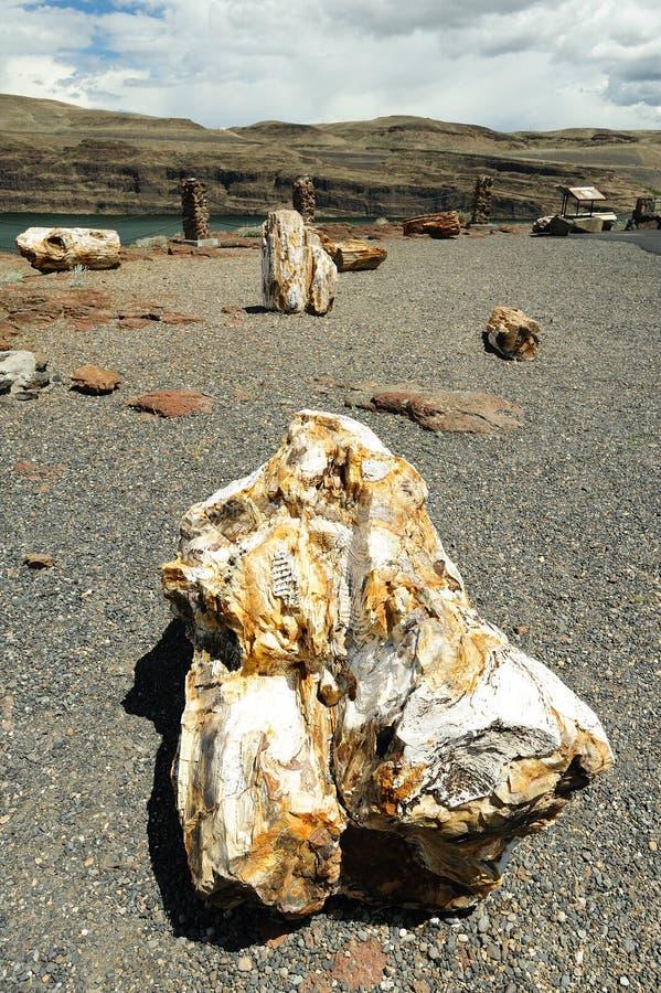 Ginkgo petrified fossil stock photography