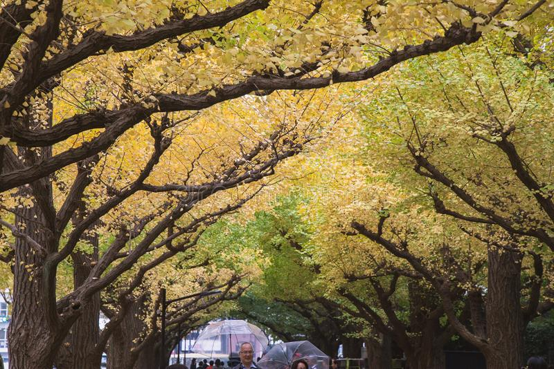 The Ginkgo street avenue in Meiji Jingu Gaien Park stock photos