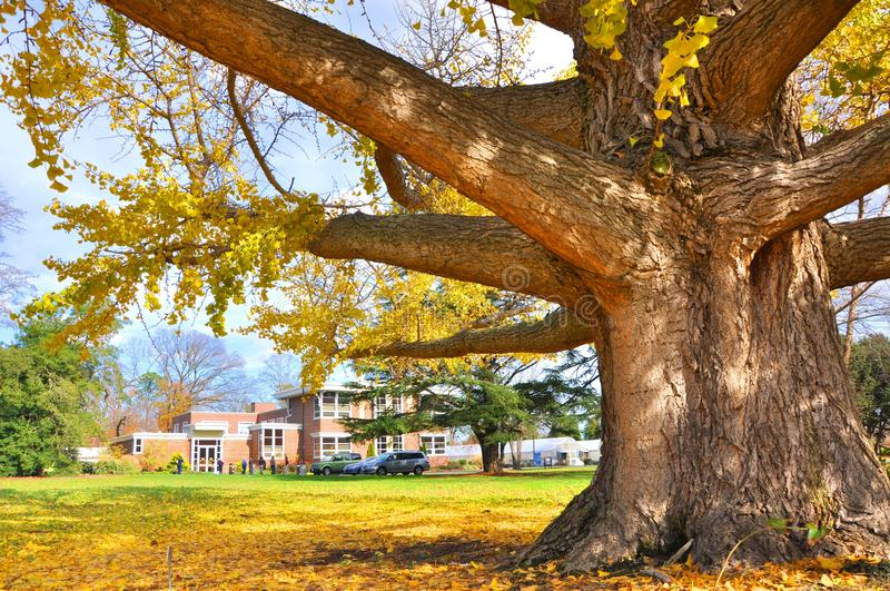 Ginkgo tree. A huge Ginkgo tree with yellow leaves stock photo