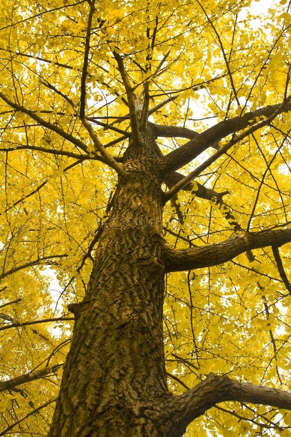 Ginkgo Tree. Yellow ginkgo tree and sunshine royalty free stock photo