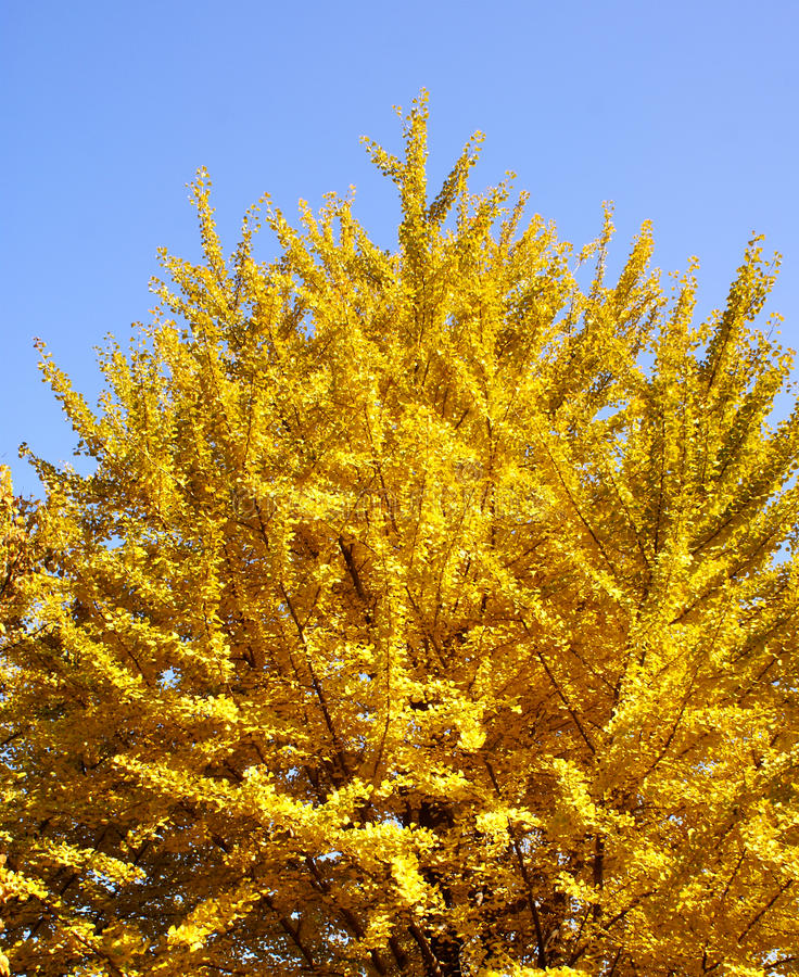 Ginkgo Tree. And blue sky royalty free stock photo