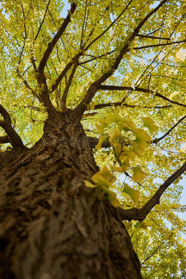 Ginkgo tree and branch with yellow leaves on blue sky background, look from warm eye view royalty free stock photos