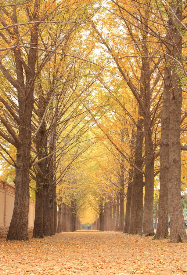 Ginkgo trees. The ginkgo trees in autumn with light stock photo