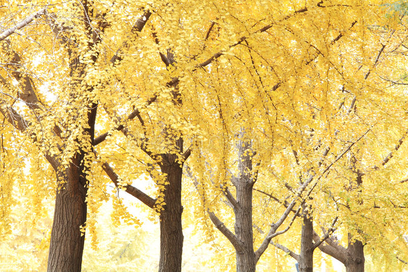 Ginkgo trees. The ginkgo trees in autumn with light royalty free stock photography
