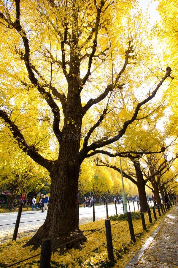Ginkgoaveny i Meiji Jingu Gaien Park royaltyfri bild