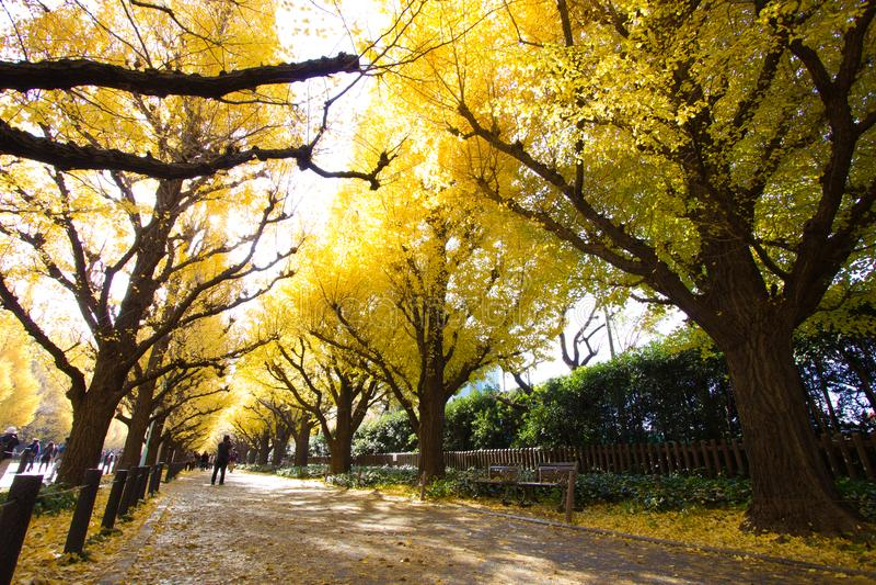 Ginkgoaveny i Meiji Jingu Gaien Park royaltyfri foto