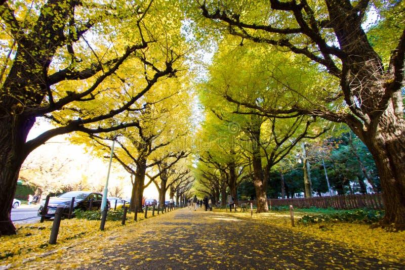Ginkgoaveny i Meiji Jingu Gaien Park royaltyfria bilder