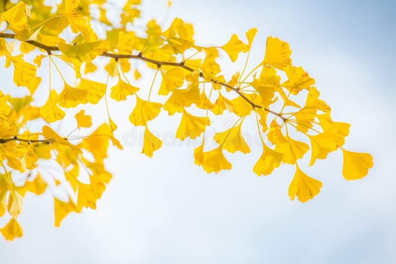 Ginkgobäume Herbst lizenzfreie stockfotografie
