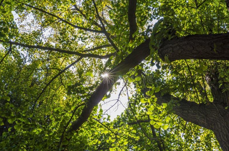 Ginkgobäume unter der Sonne stockfotografie