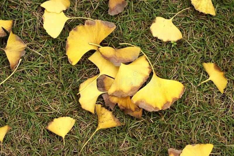 Ginkgobaumblätter auf grassplot stockfotografie