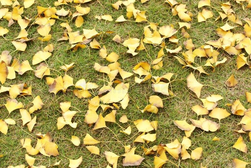 Ginkgobaumblätter auf grassplot lizenzfreie stockbilder