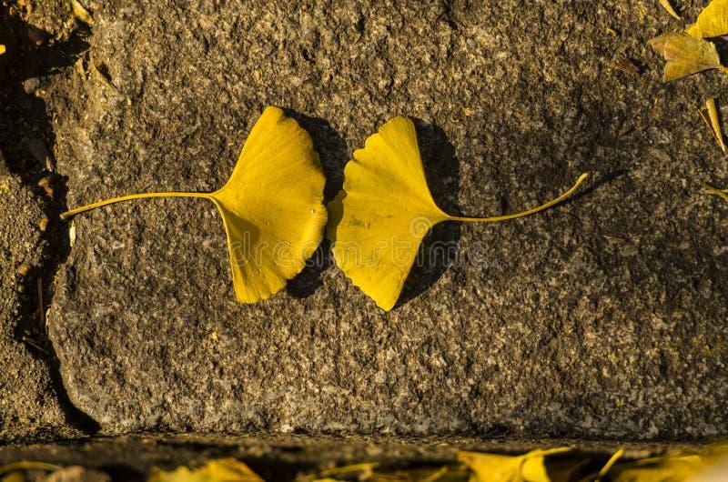 Ginkgoblätter, die aus den Grund fallen lizenzfreies stockfoto