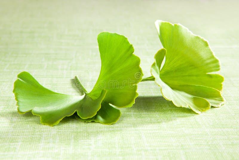 Ginkgoblad op groen. stock afbeeldingen