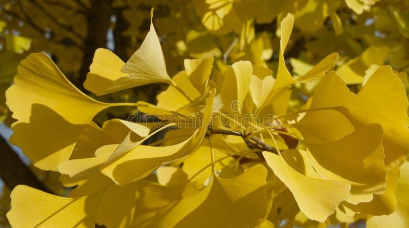 ginkgobladeren in de herfst stock afbeeldingen
