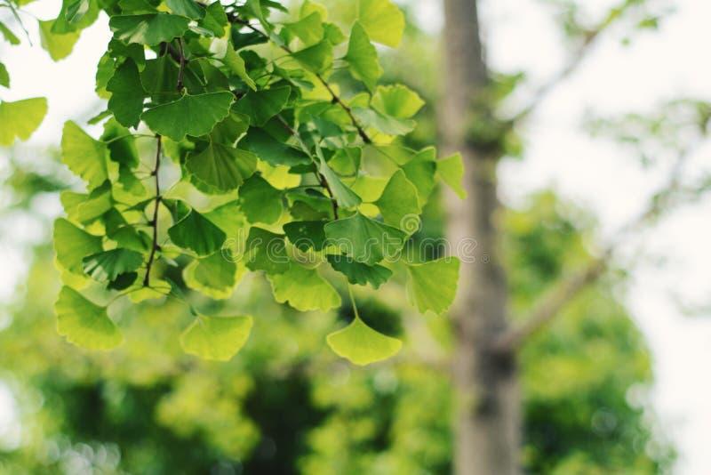 Ginkgoblatt im Sommer stockfotos