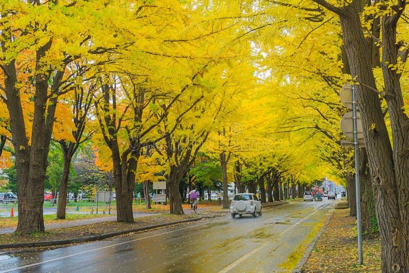 Ginkgoweg bij de Universiteit van Hokkaido, Japan stock afbeeldingen