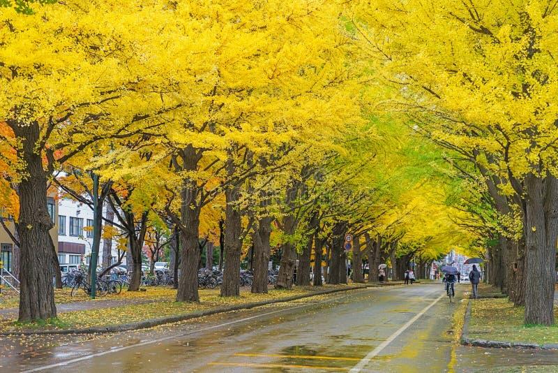Ginkgoweg bij de Universiteit van Hokkaido, Japan royalty-vrije stock foto's