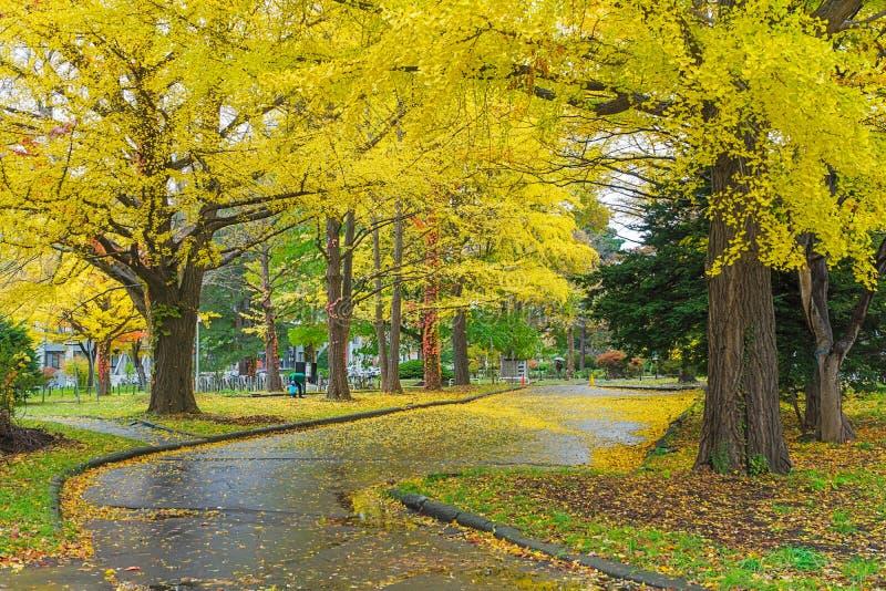 Ginkgoweg bij de Universiteit van Hokkaido, Japan stock foto's