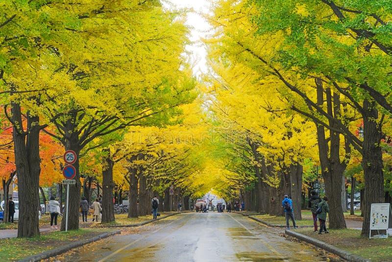 Ginkgoweg bij de Universiteit van Hokkaido, Japan stock foto