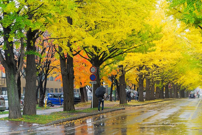 Ginkgoweg bij de Universiteit van Hokkaido, Japan stock afbeelding