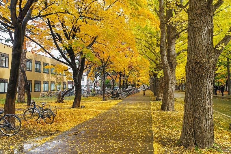 Ginkgoweg bij de Universiteit van Hokkaido, Japan stock fotografie