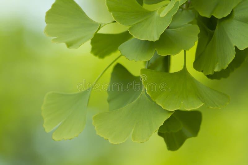 Ginko biloba. Branch of green ginko biloba in detail stock image