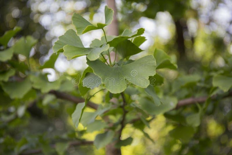 Ginko biloba drzewa liście fotografia stock