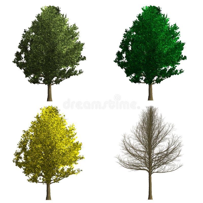 Ginko biloba drzewny rendering pokazuje cztery sezon ilustracja wektor