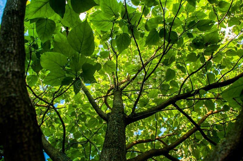 Ginko drzewo z dużymi liśćmi fotografia royalty free