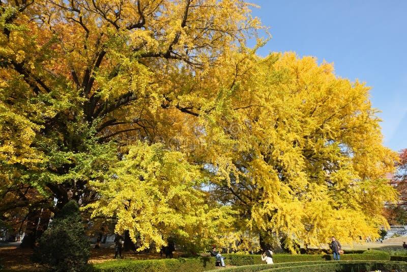 Ginko leaves at Shinjuku Gyoen National Garden. TOKYO, JAPAN - NOV 20, 2016: People admiring autumn color of yellow ginko leaves at Shinjuku Gyoen National royalty free stock photography