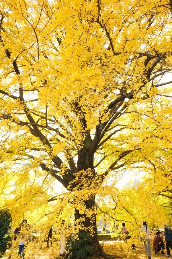 Ginko leaves at Shinjuku Gyoen National Garden. TOKYO, JAPAN - NOV 20, 2016: People admiring autumn color of yellow ginko leaves at Shinjuku Gyoen National stock photography