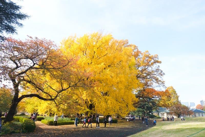 Ginko leaves at Shinjuku Gyoen National Garden. TOKYO, JAPAN - NOV 20, 2016: People admiring autumn color of yellow ginko leaves at Shinjuku Gyoen National royalty free stock images