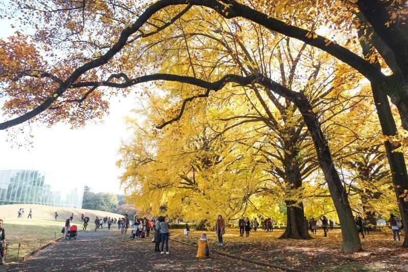 Ginko leaves at Shinjuku Gyoen National Garden. TOKYO, JAPAN - NOV 20, 2016: People admiring autumn color of yellow ginko leaves at Shinjuku Gyoen National stock image