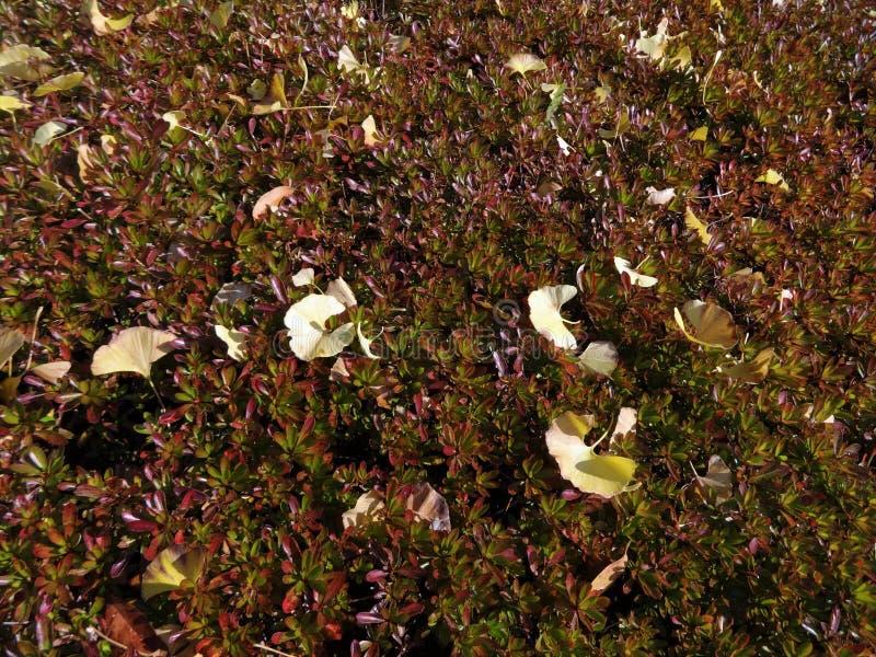 Ginko liście spadali na krzaku zdjęcia stock